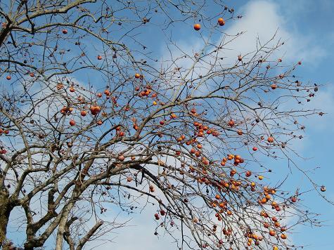 柿の木_a0122205_18223373.jpg