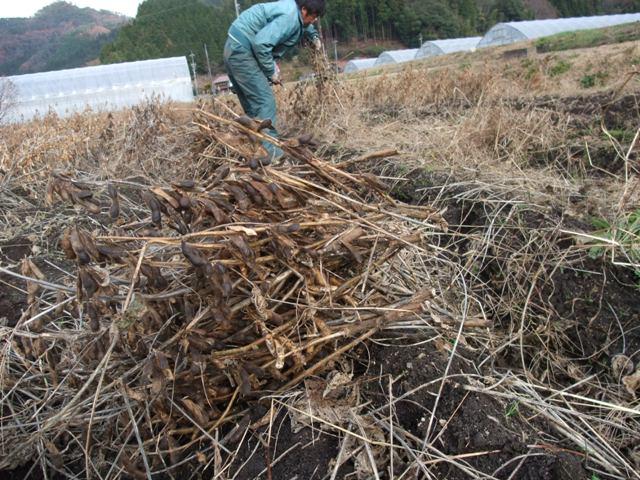 いよいよ収穫です~ 野人のこだわり青大豆8_f0071456_2150521.jpg