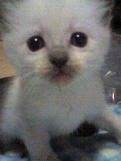ラグドール子猫ちゃん_e0033609_1158381.jpg
