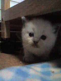 ラグドール子猫ちゃん_e0033609_11583824.jpg