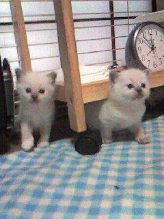 ラグドール子猫ちゃん_e0033609_11583859.jpg