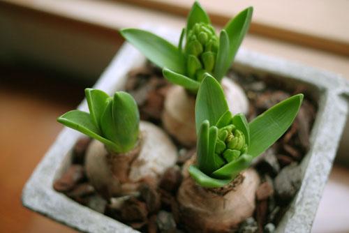 チューリップの球根は植えてしまうと土しか見えない_e0172372_23294097.jpg