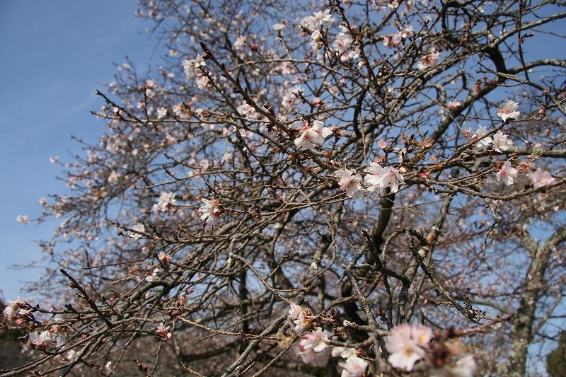 彦根城1 二季咲き桜_c0196076_22373142.jpg