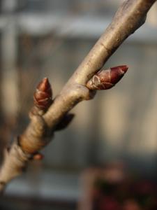 果樹の花芽_e0097534_17405596.jpg