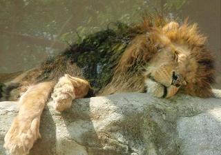 lionen.JPG