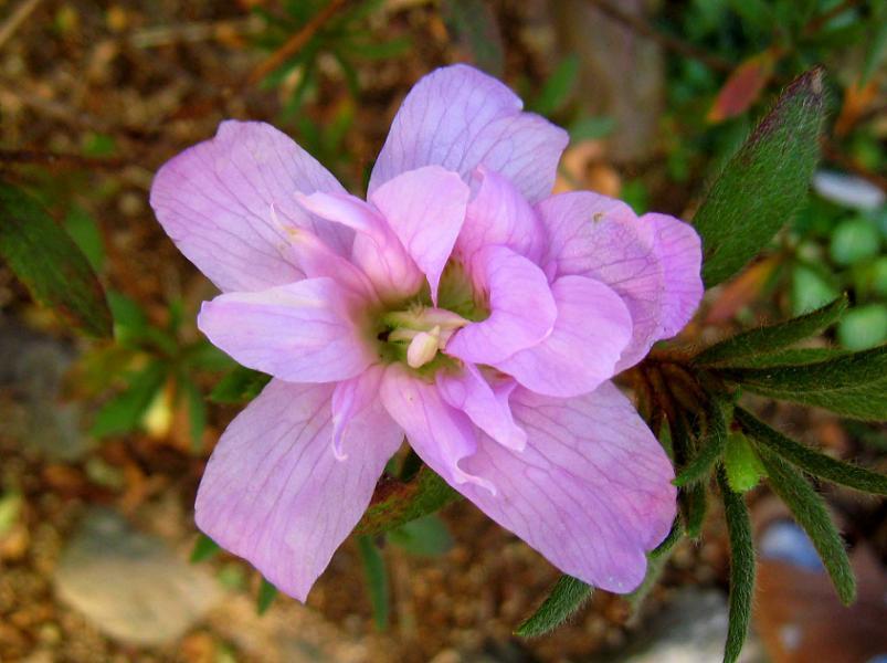 モデルハウスの芝桜_a0107574_359241.jpg