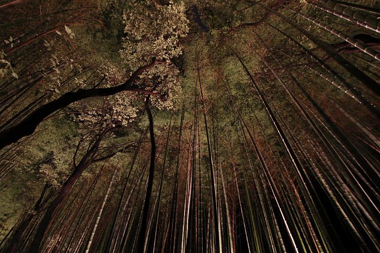 嵐山花灯路 -嵯峨野竹林-_e0051888_2142622.jpg