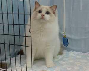 キャトショーTICA&CAT CREDO @ラグドール・ホープ君_e0033609_18594982.jpg
