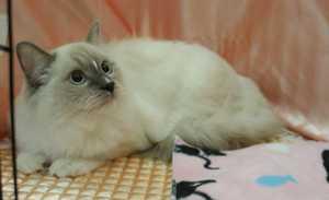キャトショーTICA&CAT CREDO @ラグドール・ホープ君_e0033609_1911727.jpg