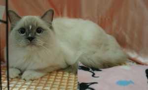 キャトショーTICA&CAT CREDO @ラグドール・ホープ君_e0033609_19133.jpg