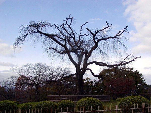 冬枯れの桜_c0057390_054054.jpg