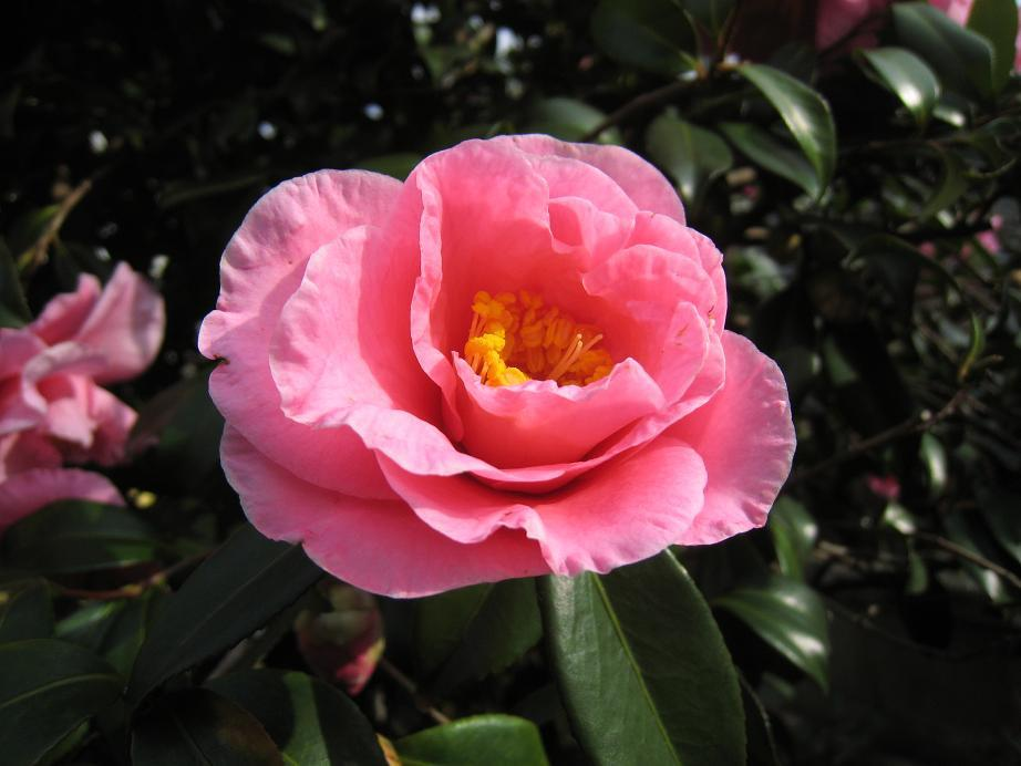 青空に 椿はな咲く 師走どき_a0107574_6504236.jpg