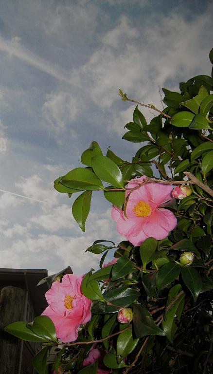 青空に 椿はな咲く 師走どき_a0107574_6505132.jpg