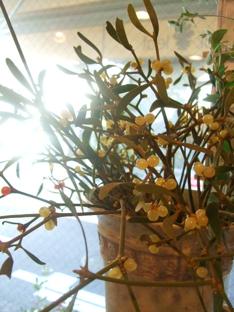 オークリーフ(花の色)_f0049672_15115087.jpg