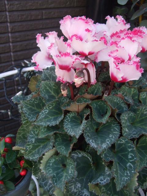 オークリーフ(花の色)_f0049672_1545561.jpg