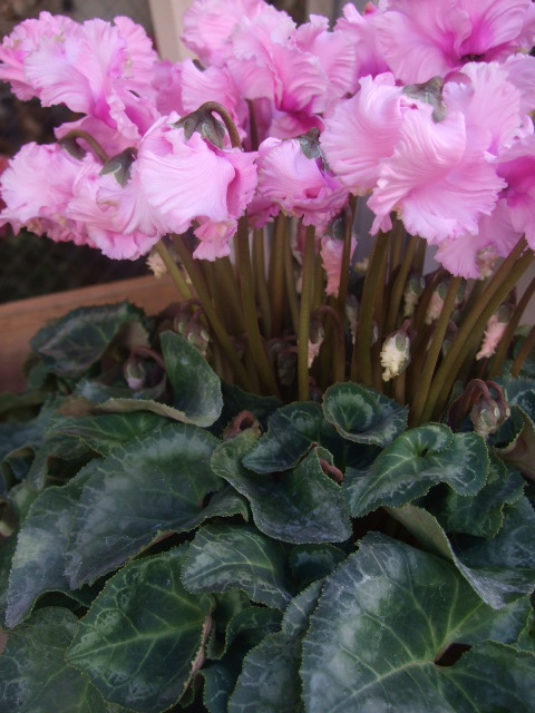 オークリーフ(花の色)_f0049672_155339.jpg