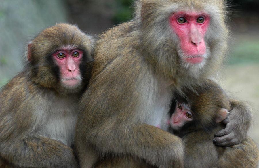 このお母さん美人いや美猿です ... : 猿 可愛い イラスト : イラスト