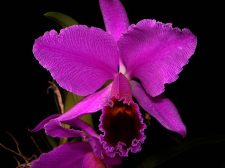 C. percivaliana f. atropurpurea_d0007501_8504189.jpg