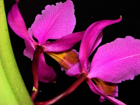 C. percivaliana f. atropurpurea_d0007501_8532033.jpg