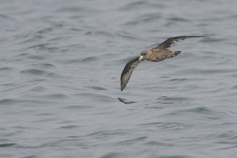 外洋の鳥たち(フルマカモメ、ハイイロウミツバメ)_d0099854_23531331.jpg