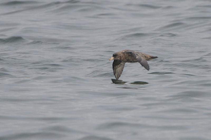 外洋の鳥たち(フルマカモメ、ハイイロウミツバメ)_d0099854_23542062.jpg