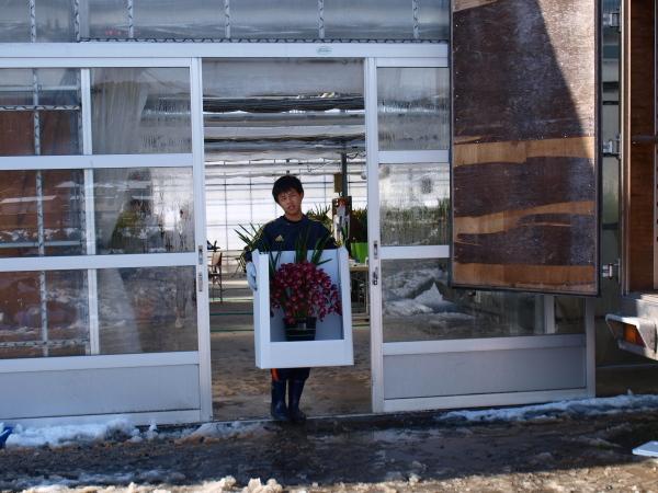 積雪の中シンビジウムの出荷です。_a0118539_3101259.jpg