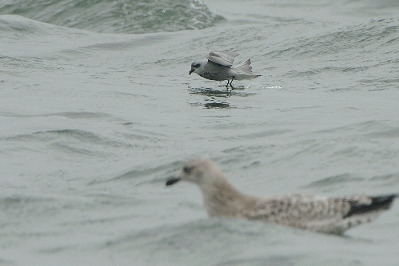 外洋の鳥たち(フルマカモメ、ハイイロウミツバメ)_d0099854_0143220.jpg