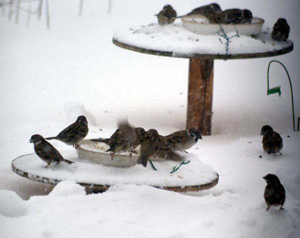 大雪の日の餌台♪_a0136293_195164.jpg