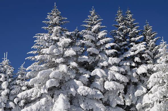 クリスマスツリーのような木 : ...
