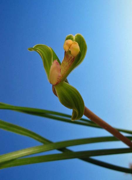 奥地蘭「豆弁蘭の翆桃咲き」              No.748_d0103457_0285616.jpg
