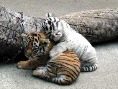 虎の画像 p1_11