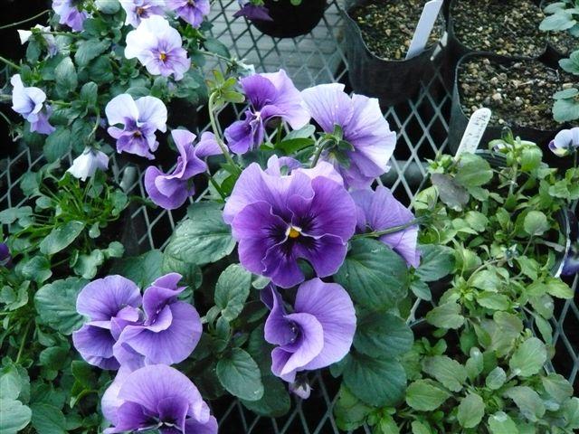 今年の秋の候補生・・・・・ROKAさんの育種場・・・・秘密の花園へ_b0137969_17581987.jpg