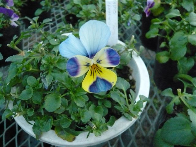 今年の秋の候補生・・・・・ROKAさんの育種場・・・・秘密の花園へ_b0137969_1803337.jpg
