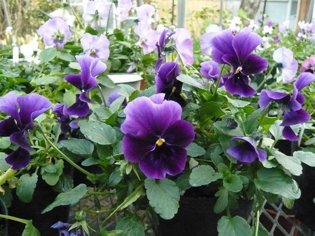 今年の秋の候補生・・・・・ROKAさんの育種場・・・・秘密の花園へ_b0137969_1812560.jpg