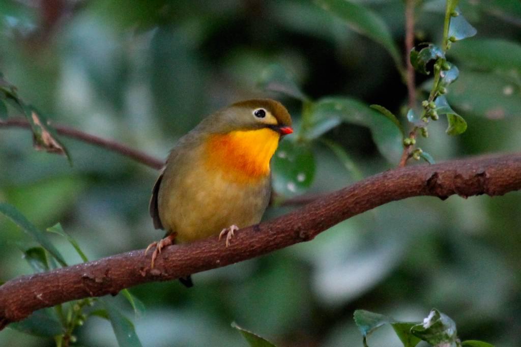 相思鳥、我が家の側にも_b0024798_6154889.jpg