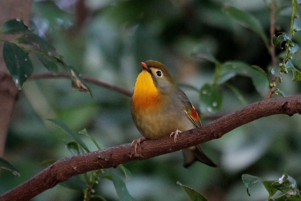 相思鳥、我が家の側にも_b0024798_616113.jpg