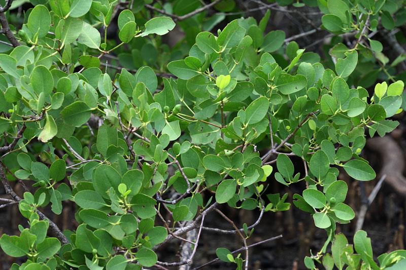 ハマザクロ Sonneratia alba : 鳥平の自然だより(植物編)