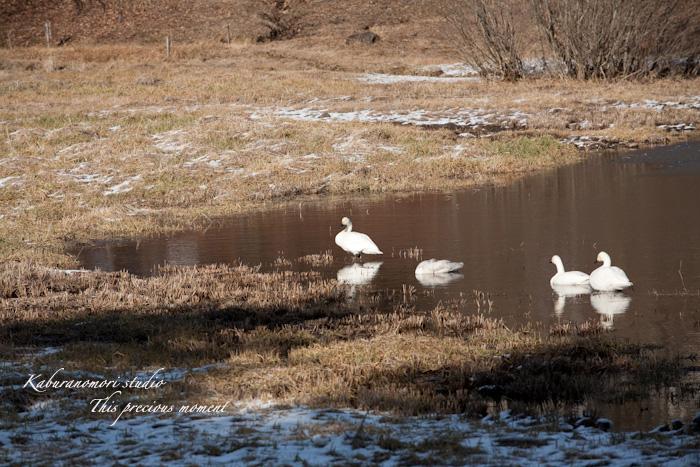 みどり湖に白鳥飛来_c0137403_17551983.jpg