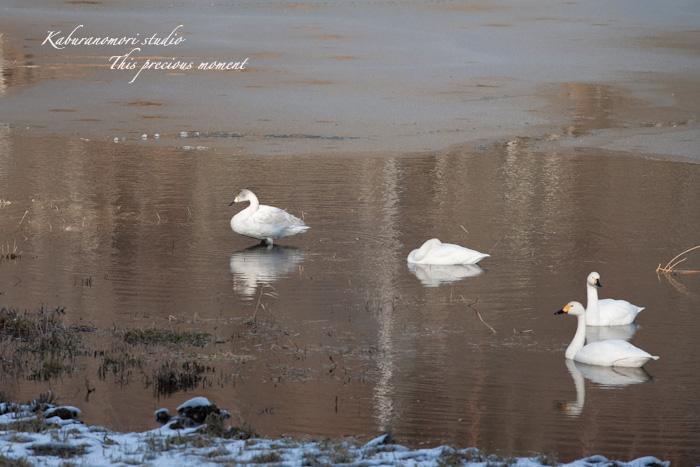 みどり湖に白鳥飛来_c0137403_17595462.jpg