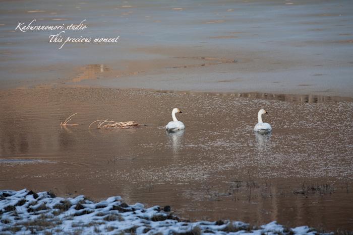 みどり湖に白鳥飛来_c0137403_182115.jpg