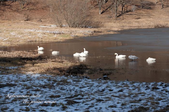 みどり湖に白鳥飛来_c0137403_1823476.jpg
