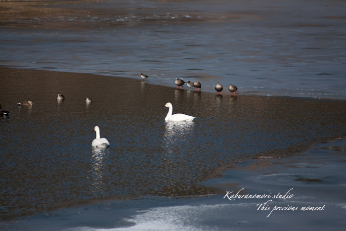 みどり湖に白鳥飛来_c0137403_1864160.jpg