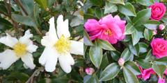 """新年より『今週の花』の採集地が\""""ギャラリー周辺\""""から\""""大阪城周辺\""""に変わります!_e0189606_18342556.jpg"""