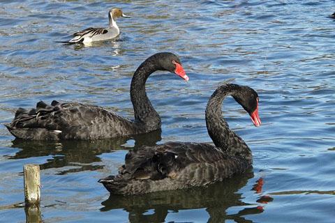 黒鳥と、黒い鳥_f0030085_21264068.jpg