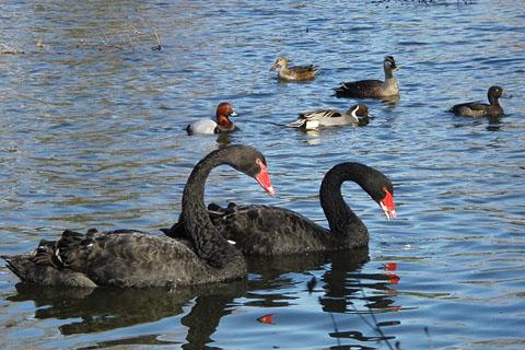 黒鳥と、黒い鳥_f0030085_21265621.jpg