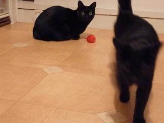 りんご1個猫 のぇるろった猫。_a0143140_1643194.jpg