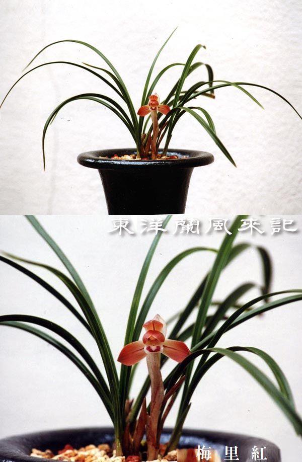 日本春蘭小輪赤花「梅里紅」              No.323_b0034163_14114697.jpg