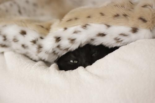 もちベッドと毛布の間から顔を覗かせる小僧
