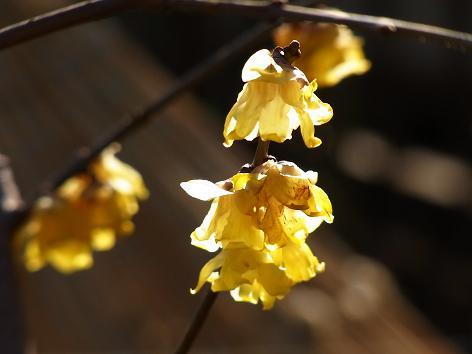 早春の花:山茱萸、黄梅、満作_c0192215_8295229.jpg