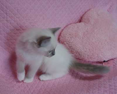 ラグドール子猫ちゃん 2ヶ月_e0033609_23264696.jpg